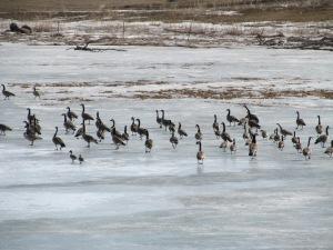 Geese on Rice Lake.