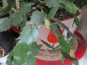Christmas Cactus with new growth.