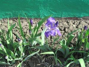 Iris in full bloom.