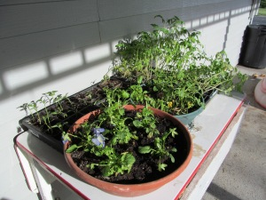 Pansies and tomatoes and peppers.