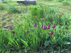 Purple tulips and fern peony in the background.