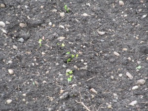 The radishes are coming. Yipee!!