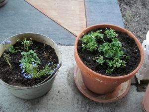 Geraniums in new pots