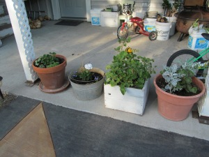 The planters of geraniums are starting to fill out.