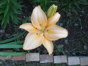Orange lily, wonder when I planted those.