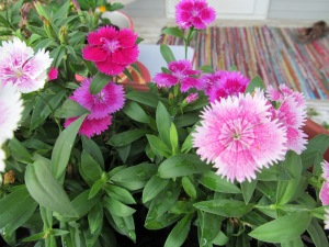 Dianthus growing in a pot.
