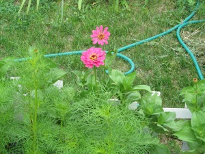 Zinnias are blooming.