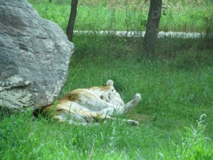 Tiger sleeping at the zoo. I want to do this every time we go to Bismarck.