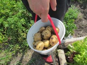 A pail of new Yukon gold potatoes.