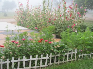 Mist on the flowers. Hollyhocks in the background with zinnias in full bloom in front and cosmos about to bloom soon. The lacy cosmos seem to fit right in with the mist.