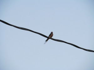 This bird chose to sit on the wire rather than fly around in the heat.