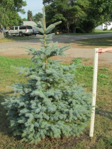 Tree on the west end of the row. I believe it is a blue spruce.