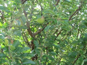 Apples on the apple tree, finally.