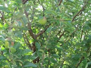 Apples on the apple tree, finally.