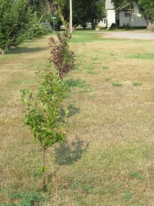 The chokecherry trees on the east side of the evergreens. You can sort of see the whole row from here.