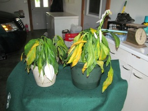The two plants after dividing.