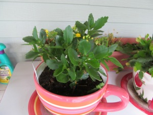 Yellow kalanchoe is thriving in this heat. Not so much for the pansies behind them.