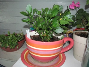The yellow kalanchoe is doing well, even if I am killing off other plants.