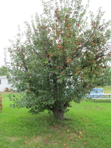 The apple tree. I think it is time to think of planting two new ones.