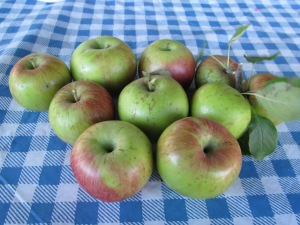 Apples picked from the tree today.