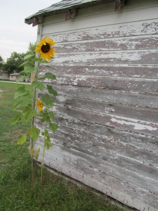 Siding boards badly in need of paint are lines, but the lovely flower on the sunflower is a pattern to be sure.