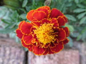 Tiny marigold opens briefly before frost. Such velvety leaves.