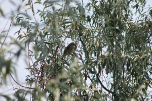 Birds in the Russian Olives