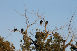 Four Turkey Vultures sitting in a tree.