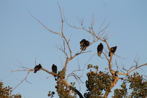 Turkey vultures in the trees.