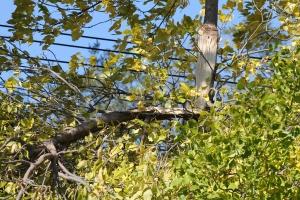 Broken ash tree