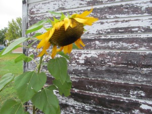 Sunflower is hanging in there.