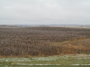 A sunflower field south of Strasburg.