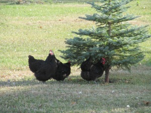 Hens under the tree again.