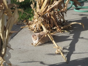 Kitty playing in the corn stalks.