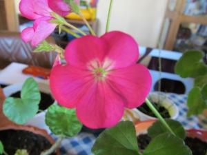 Geranium plant blooming inside.