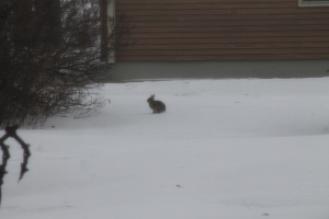 Bunny in the yard.