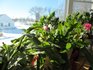 Indoor plants in the south window. Christmas cactus is nearly blooming.