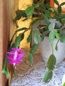 Final bloom of smaller Christmas cactus.