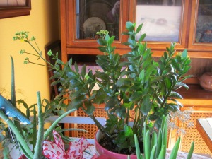 Large yellow kalanchoe is blooming. The hyacinth is photo bombing in the front-right.