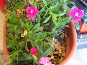 Little dianthus hoping to get outside soon.