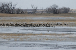 Canadian Geese.