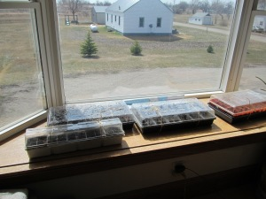 The seedlings in the window.
