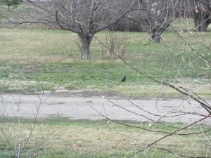 Blackbirds in the grass, which is starting to green up well.