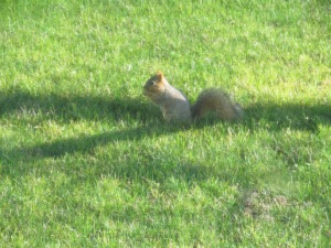 The squirrel Sophia saw from her window this morning. Check yesterday's post to see her sleeping by the window.