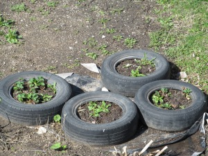 The strawberries are coming back. We planted five tires full the year of the Olympics, now we are down to two tires still growing. The other two are full of weeds.