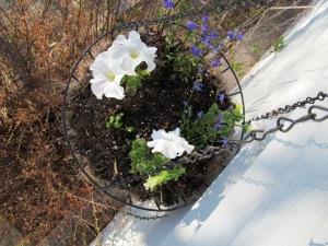 A pot with white petunias and blue lobelia.