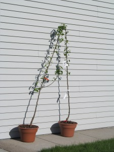 We purchased two pear trees to plant beside the chokecherries. I wonder how tall they get.