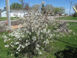The plum trees are in full bloom. Ya, more jelly, that will make Jaxon happy.