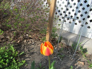 Yellow and orange tulip finally blooming. I am not sure if I bought these or mixed them by transplanting other colors.