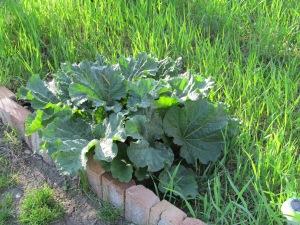 The rhubarb looks like we will be picking next week.